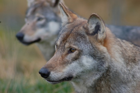gray-wolves-need-protection